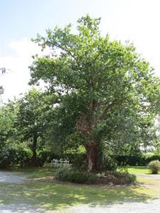 notre chêne tricentenaire